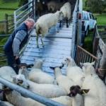 Ifor Williams přepravník hospodářských zvířat